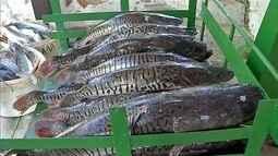 Projeto de lei deseja proibir pesca das espécies Dourado e Cachara em Corumbá