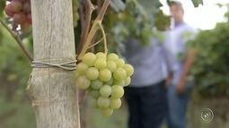 Chegada do outono preocupa produtores de frutas da região de Pilar do Sul