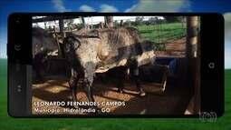 Vaca com deficiência no pescoço leva vida normal em Hidrolândia, GO