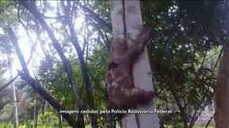 Policiais Rodoviários resgatam um bicho preguiça, em Porto Franco