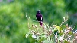 Anambé-pompadora tem plumagem roxa que brilha sob a incidência de luz