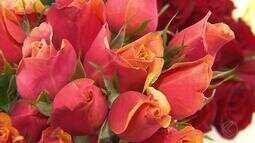 Produtores de rosa já se preparam para as vendas do Dia das Mães em Barbacena