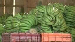 Vendaval prejudica pelo menos 50 mil pés de bananas em produção no Norte de SC