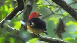 Parque do Iguaçu protege o dançador-laranja, ave filmada pelo Terra da Gente