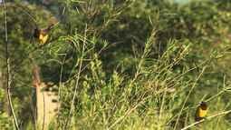 Aves do Iguaçu. Cardeal-do-banhado filmado em Campinas. Engenheiro recupera mata (Bloco 01