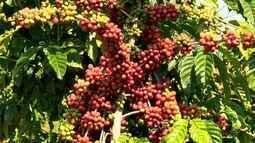 Colheita de café conilon em São Gabriel da Palha, ES, está atrasada