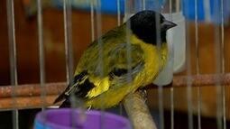 Cresce o número de aves apreendidas por autoridades do meio ambiente