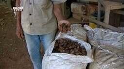 Parte 1: Rondônia registra queda na produção de castanha