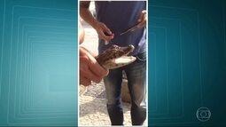 Jacarés são encontrados vivos na Praia do Recreio