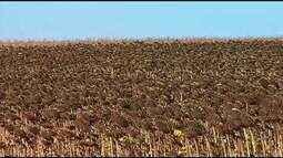 Produtores do Triângulo Mineiro comemoram a colheita do girassol