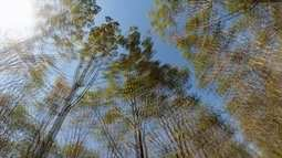 Seringueiras são usadas para neutralizar CO2 emitido na atmosfera