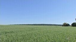 Produtores de trigo apostam na plantação de aveia preta devido ao baixo custo