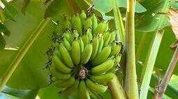 Mudanças bruscas nas temperaturas deixam produtores de banana de SC em alerta