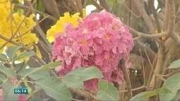 Florada dos ipês enche de cores diferentes regiões de MT