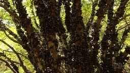 Fazenda tem o maior pomar de jabuticabas do Brasil em Hidrolândia, GO
