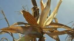 Agricultores colhem a safra de milho em Baturité