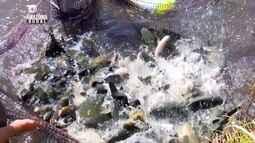 Parte 3: Cresce a produção de pescado em Rondônia