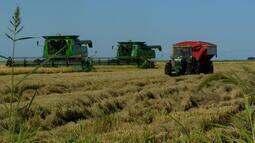 Começa plantio de arroz no RS e SC e chuva preocupa os agricultores