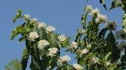 Produtores de café produzem mel a partir da florada nos cafezais do Sul de MG