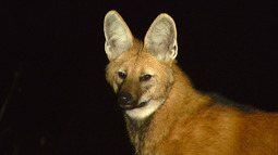 Lobo-guará na Serra da Canastra
