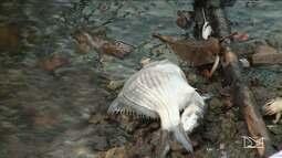 Peixes morrem na barragem do Bacanga, em São Luís.