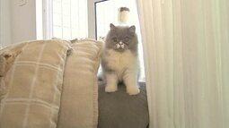 Gatos persas adoram uma bagunça mas são amáveis e fáceis de criar