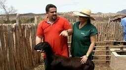 Adaptado ao clima sertanejo, carneiro tem demanda diversificada no interior do Ceará