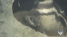 Primeiro pinguim nascido em cativeiro tem filhote em Santos