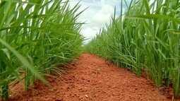 Cai a produção de arroz em Mato Grosso