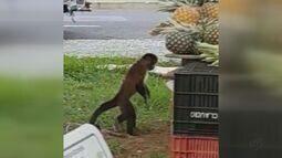 Polícia Ambiental monta armadilha para capturar macaco-prego em São Carlos