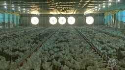 Governo de MS cria força-tarefa para ajudar produtores com readequação de aviários