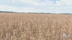 As variedades da soja da região à disposição dos produtores em um dia de campo