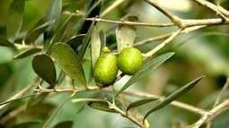 Confira a primeira colheita de azeitona do ES