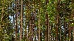 Legislação estimula o plantio de florestas comerciais de eucalipto em Ituiutaba