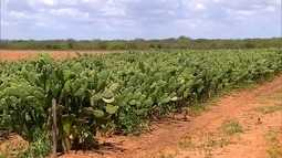 EMPARN começa distribuição de mudas de palma forrageira na região Oeste potiguar