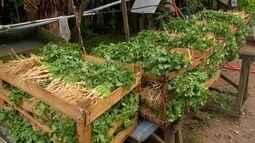 Produtores paulistas apostam no cultivo do coentro