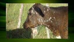 Especialista responde dúvida de telespectador sobre verrugas nos gado