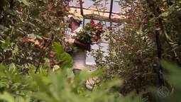 Dia das Mães aquece produção de rosas em Barbacena
