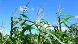 Produtores de milho verde de Propriá se prepraram para as vendas no período junino