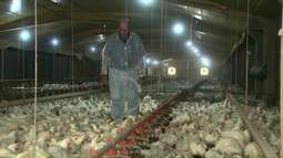 Criadores de frango temem perder milhões de aves por causa da suspensão do abate