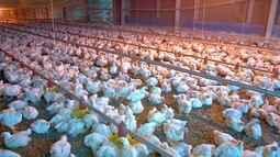 Duzentos e oitenta aviários serão fechados em MT