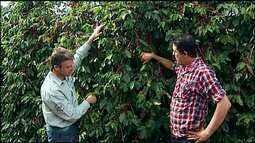 Produtores do Alto Paranaíba comemoram resultado da colheita do café