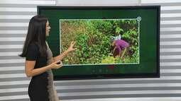 Após cinco anos de seca, colheita de café de Vitória da Conquista vai ter saldo positivo