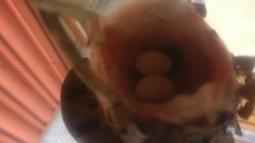 Beija-flor faz ninho em casa de morador ribeirão-pretano