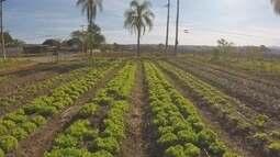 Plantação de alfaces gigantes chama a atenção em Araçoiaba da Serra