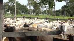 Mirante Rural mostra queda da arroba do boi no Maranhão