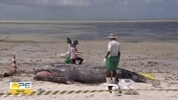 Filhote de baleia que encalhou em Catuama é encontrado morto