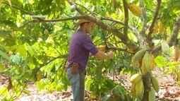 Parte 2: Produtores apostam no cultivo do cacau em Rondônia