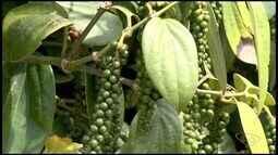 Produção de pimenta do reino cresce no ES, mas tem produtor desanimado com o preço