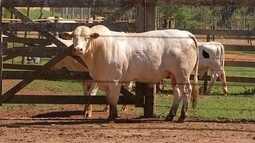Pecuaristas da região de Itapetininga investem em gado de elite